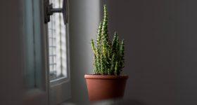 temperatura cactusi