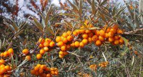 beneficii ulei catina